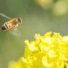 ビジネスパーソン の理想はミツバチ